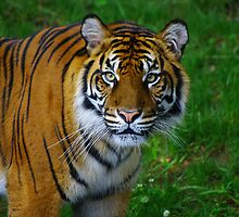 Tiger eyes by Dave Parrish
