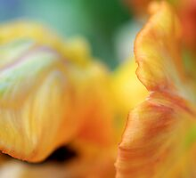 Abstract Tulip 2 by RA-Photography