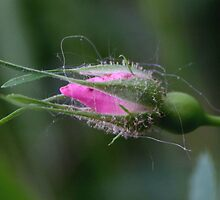 Tiny Rose Bud by Susan C. Snider