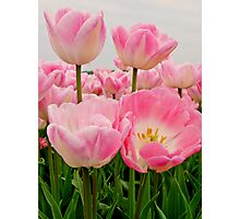 PINK CANDY TULIPS Photographic Print