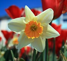 Daffodil & Tulips by GreyFeatherPhot