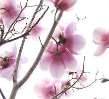 Pink magnolia flowers by Harvey Schiller