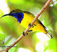 Male sunbird by robmac