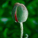 Poppy Phallus by Pamela Hubbard