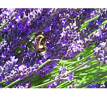 Bumble Lavendar Photographic Print