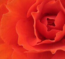 Orange Red Begonia Horizontal by Adam Bykowski