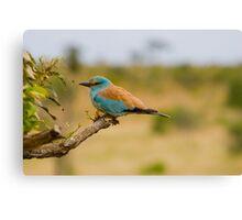 Blue Bird, South Africa. Canvas Print