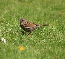 Dunnock in the grass by GreyFeatherPhot