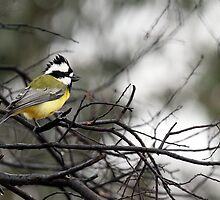 Eastern Shrike-tit (Falcunculus frontatus)  by adamisalive