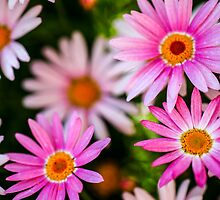 flowering garden. Blooming pink Gerbera flowers by PhotoStock-Isra