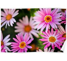 flowering garden. Blooming pink Gerbera flowers Poster