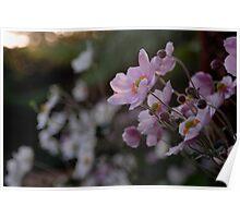 Japanese Anemone Pink Poster