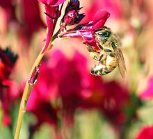 Linaria Bee  by Susan Brown