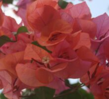 Bougainvillea At Daybreak Sticker