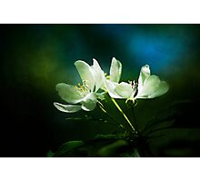 Apple Blossom - Two Flowers Photographic Print