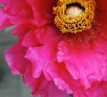 Beautiful Red Peony by WaterGardens