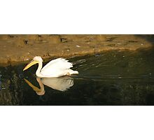 pelican swimming in the river Photographic Print