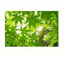 Green leaves of Japanese maple Art Print