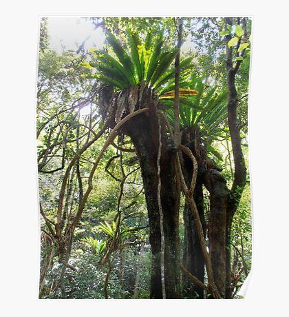 Rainforest, Minnamurra Falls, Illawarra, Australia. Poster