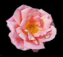Pink Rose on Black Velvet by LoneAngel