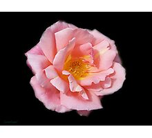 Pink Rose on Black Velvet Photographic Print