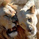 White lion nuzzle by loz788