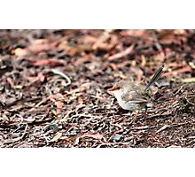 Fairy Wren (Malurus cyaneus) - Brown Photographic Print