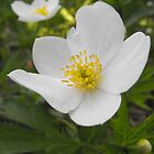 Canada Anemone by Tracy Faught