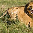Masai Mara Lions, Kenya by Craig Scarr