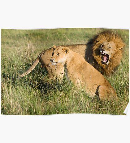 Masai Mara Lions, Kenya Poster