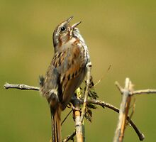 Song Sparrow - Singing by Ryan Houston