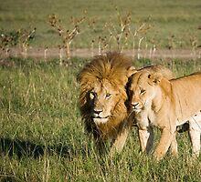 Lions, Masai Mara, Kenya by Craig Scarr