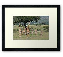 Giraffes, Masai Mara, Kenya Framed Print