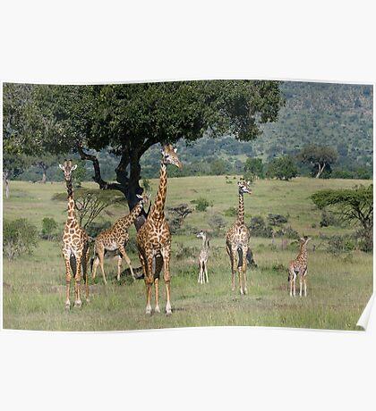 Giraffes, Masai Mara, Kenya Poster