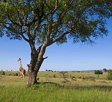Giraffe, Masai Mara, Kenya by Craig Scarr