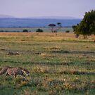 Leopard, Masai Mara, Kenya by Craig Scarr