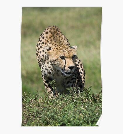 Cheetah, Masai Mara, Kenya Poster