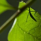 curious mantis by Voytek Swiderski