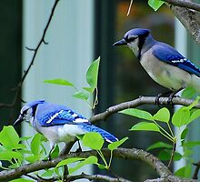 Blue Jays by Raodk45