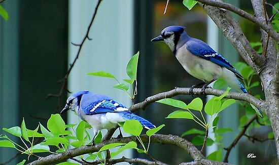 Blue Jays by Raodk45