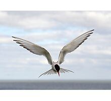 Arctic tern in the clouds Photographic Print