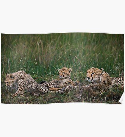 Cheetah's, Masai Mara, Kenya Poster
