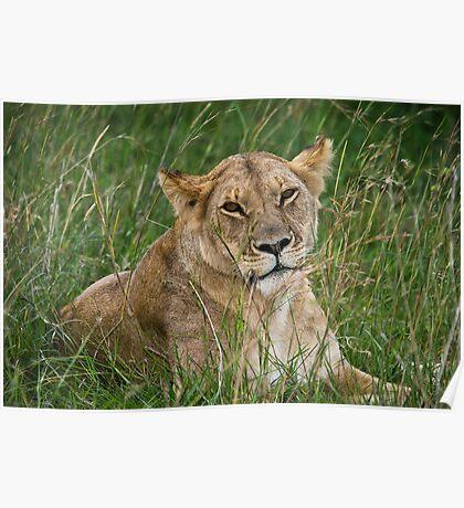 Lioness, Masai Mara, Kenya Poster