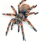 Mexican Red Knee Tarantula by Pete Janes