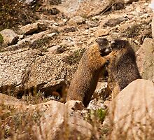 What Marmots Really Do When No Humans Are Around by Jay Ryser
