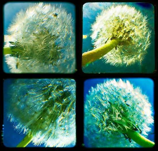 Dandelion Quad TTV by Sarah Lipow