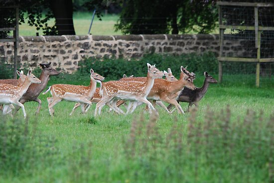 Ripley Castle deer park by dougie1
