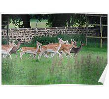 Ripley Castle deer park Poster