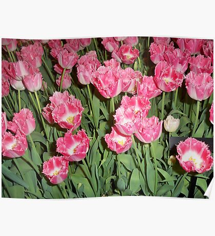 Yard of Pink Tulips Poster