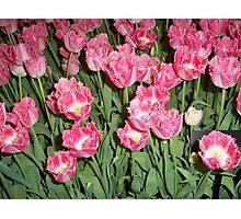 Yard of Pink Tulips Photographic Print